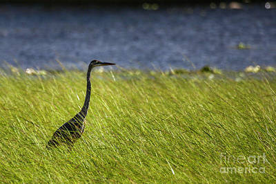 Photograph - Great Blue Heron by Roger Monahan