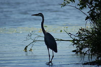 Photograph - Great Blue Heron by Ron Read