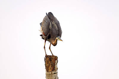 Photograph - Great Blue Heron Yoga Pose by Sharon Talson