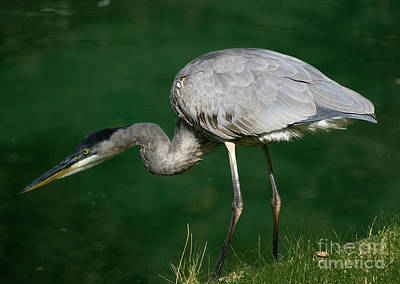Photograph - Great Blue Heron Series by Tom Brickhouse