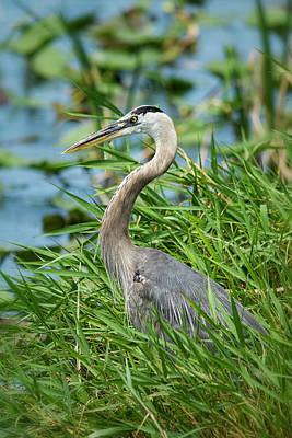 Photograph - Great Blue Heron Shoreside  by Saija Lehtonen