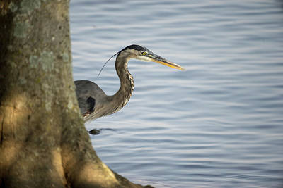 Photograph - Great Blue Heron Sneaking From Behind Tree by Douglas Barnett