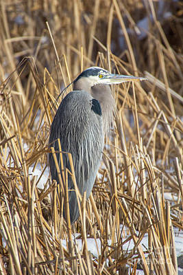 Photograph - Great Blue Heron by Spencer Baugh