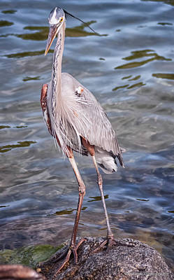 Photograph - Great Blue Heron, St Andrews State Park by Debra Forand
