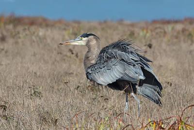 Photograph - Great Blue Heron Stalking Gophers by Kathleen Bishop