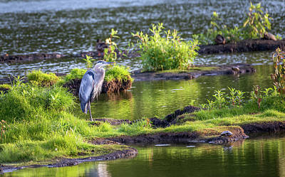 Photograph - Great Blue Heron Standing On An Island In The Chesapeake Bay by Patrick Wolf