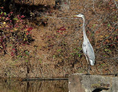 Great Blue Heron Standing Tall Art Print by George Randy Bass