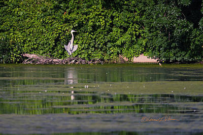 Photograph - Great Blue Heron Sunning 2 by Edward Peterson