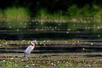 Photograph - Great Blue Heron Swamp by Bill Wakeley