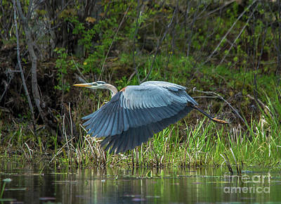 Photograph - Great Blue Heron Take Off by Cheryl Baxter