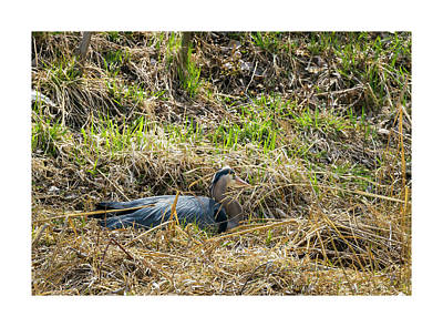Photograph - Great Blue Heron Takes A Rest by Edward Peterson