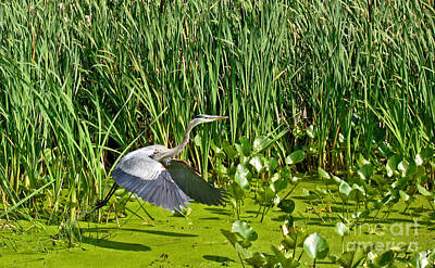 Popstar And Musician Paintings Royalty Free Images - Great Blue Heron Takes Flight Royalty-Free Image by Ann Horn