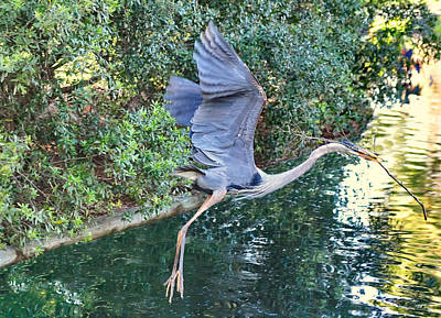 Great Heron Photograph - Great Blue Heron Takes Flight With Stick For Nest by Wayne Nielsen