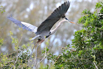 Photograph - Great Blue Heron Taking Off  by Alan Lenk