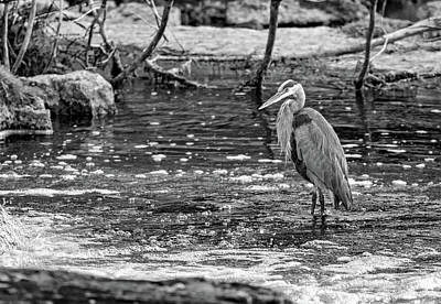 Sauble Photograph - Great Blue Heron - The Hunter Bw by Steve Harrington