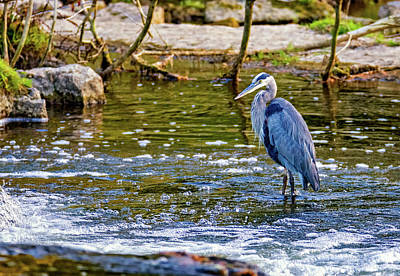 Sauble Photograph - Great Blue Heron - The Hunter by Steve Harrington