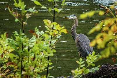 Photograph - Great Blue Heron Through Autumn Leaves by Belinda Greb