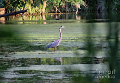 Photograph - Great Blue Heron Through The Shadows by Karen Adams