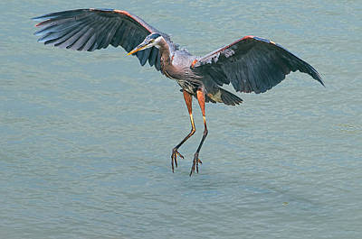 Photograph - Great Blue Heron Touchdown by Sharon Talson