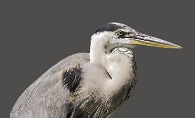 Photograph - Great Blue Heron Transparency by Richard Goldman