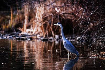 Photograph - Great Blue Heron by Vishwanath Bhat