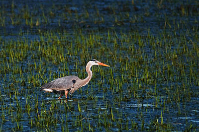 Green Heron Photograph - Great Blue Heron Wading by Benjamin DeHaven