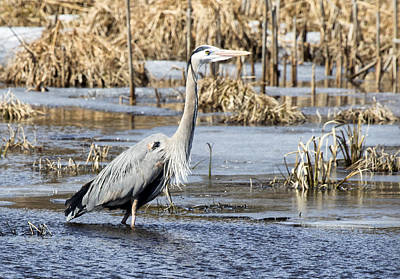 Photograph - Great Blue Heron Wading  by Betty  Pauwels