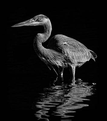 Photograph - Great Blue Heron Wading Bw by HH Photography of Florida