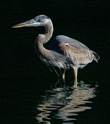 Photograph - Great Blue Heron Wading by HH Photography of Florida