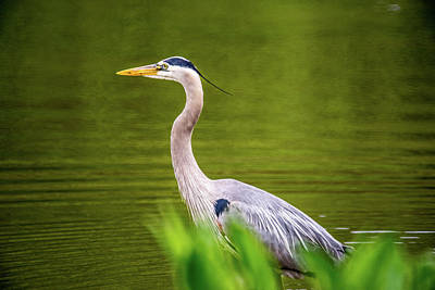 Photograph - Great Blue Heron Wading In River 3 by Douglas Barnett