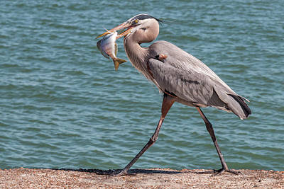 Photograph - Great Blue Heron Walking With Fish #1 by Patti Deters