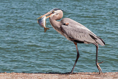 Photograph - Great Blue Heron Walking With Fish #2 by Patti Deters