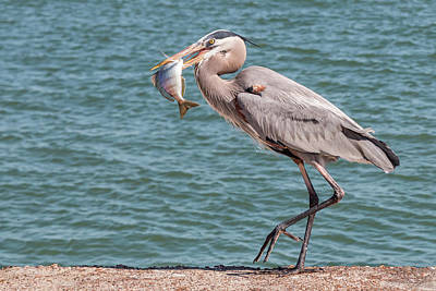 Photograph - Great Blue Heron Walking With Fish #3 by Patti Deters