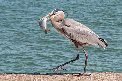 Photograph - Great Blue Heron Walking With Fish #4 by Patti Deters