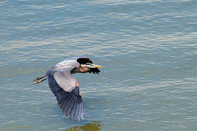 Photograph - Great Blue Heron Wing Dip by Sharon Talson