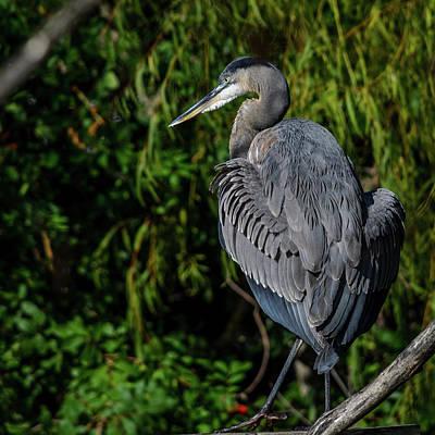 Photograph - Great Blue Heron - Wings Spread by Debra Martz