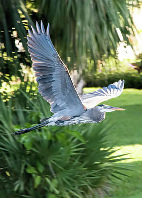 Photograph - Great Blue Heron Wingspan by William Tasker