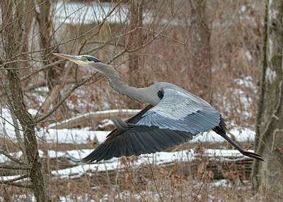 Photograph - Great Blue Heron - Winter Flight by Ron Grafe