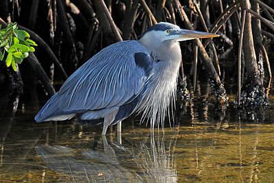 Photograph - Great Blue Heron With Beard by Alan Lenk