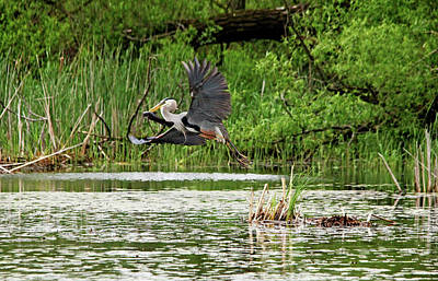 Photograph - Great Blue Heron With Catfish by Debbie Oppermann