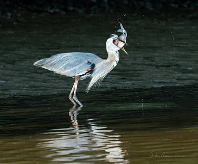 Photograph - Great Blue Heron With Fish 3446 by Dan Beauvais