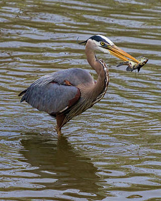 Photograph - Great Blue Heron With Fish by Ron Grafe