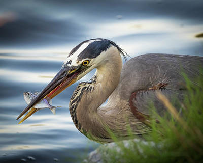 Photograph - Great Blue Heron With Fish by Van Sutherland