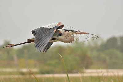 Photograph - Great Blue Heron With Nesting Material by Alan Lenk