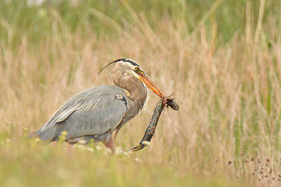 Great Blue Heron With Salamander Original by Alan Lenk