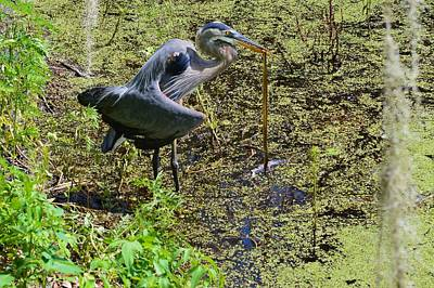 Photograph - Great Blue Heron With Snake Lunch by Warren Thompson
