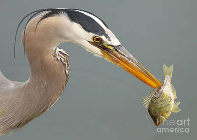 Photograph - Great Blue Heron With Speared Fish by Max Allen