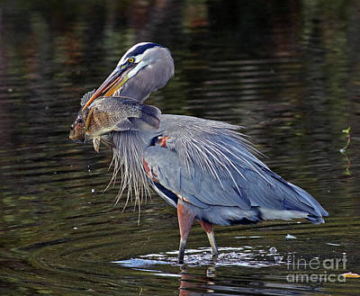 Photograph - Great Blue Heron With Tilapia by Larry Nieland