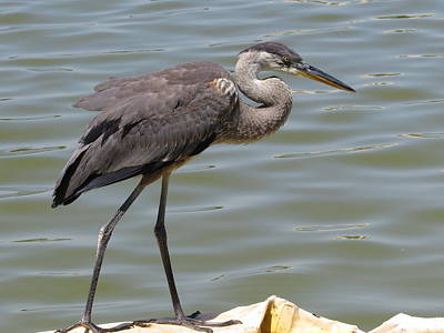 Great Blue Heron Photograph - Great Blue Heron by Zina Stromberg