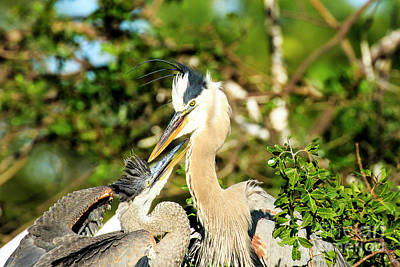 Photograph - Great Blue Herons Adult With Young by Ben Graham